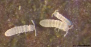 Cryptopygus tricuspis