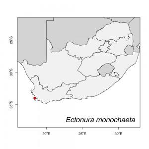 Ectonura_monochaeta