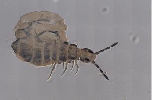 Capbrya marshalli